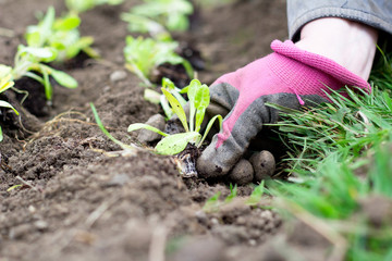 Planting a seedling in allotment