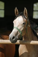 Arabian horse stallion portrait at  the corral door.