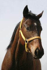 Head-shot of a chestnut horse.