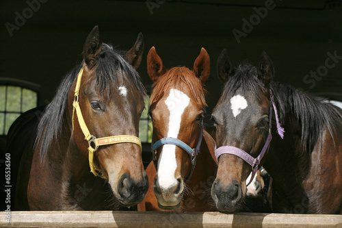 Staande foto Paarden Nice thoroughbred foals in stable.