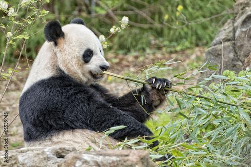 Keuken foto achterwand Panda giant panda while eating bamboo