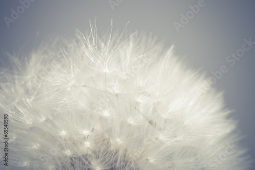 Dandelion - 65540598