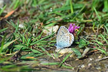 Bläuling - Schmetterling