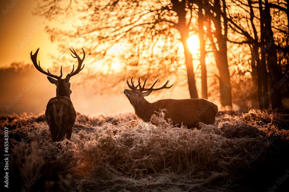 foto auf acrylglas red deer in morning sun nikkel. Black Bedroom Furniture Sets. Home Design Ideas