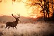 Leinwanddruck Bild - Red Deer in Morning Sun.