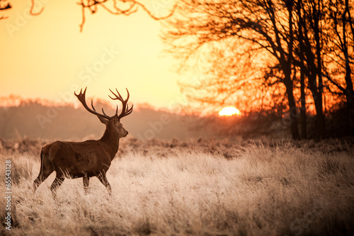 Papiers peints Cerf Red Deer in Morning Sun.