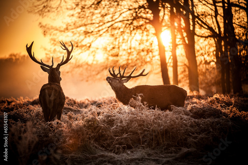 Poster Red Deer in Morning Sun.
