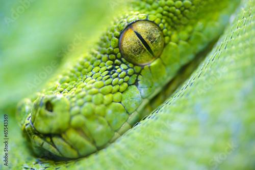 Green tree python - 65543369