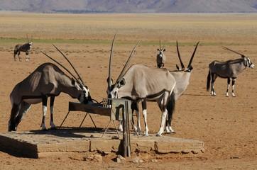 Oryx (oryx gazella) an der Wassertränke