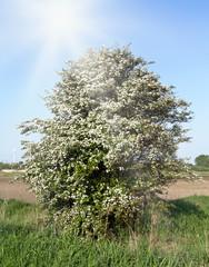 Weißdorn zur Blütezeit