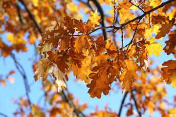 Herbstliche Blätter der Eiche