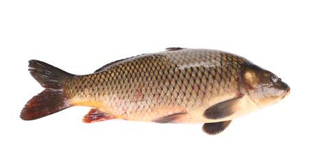 Raw fish carp.