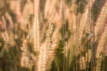 plants grass field at gold sunset