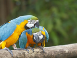 Pair of Macaw birds in love