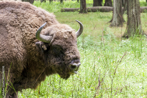 Bialowieski National Park - Poland. Aurochs head.