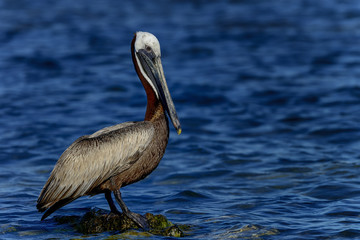 brown pelican, florida keys