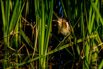 least bittern, viera wetlands