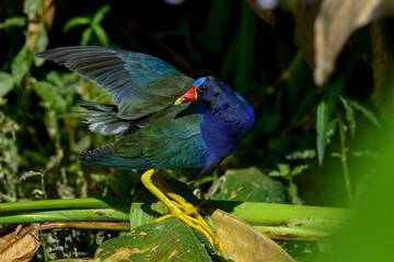 purple gallinule, wacodahatchee wetlands