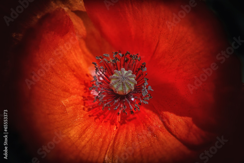 poppy flower on black
