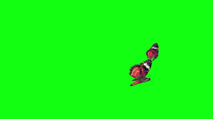 red butterfly flying green screen