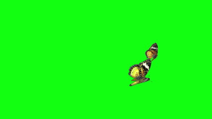 yellow butterfly flying green screen