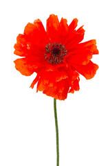 poppy flower isolated on white
