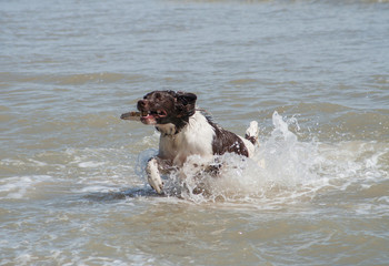 Springer coming ashore