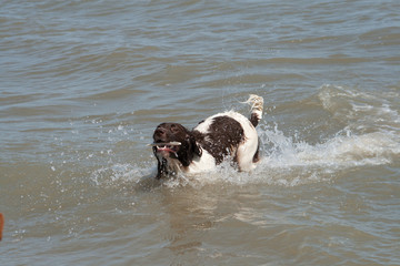 Spaniel retrieving cuttlefish