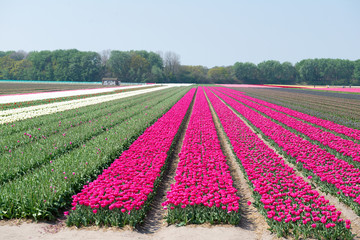 Les champs de tulipes en Hollande