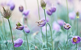 Wilted pasque flowers in a garden poster