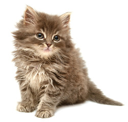 Beautiful persian little kitten