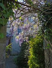 Glyzinie im Hof - wisteria in the yard