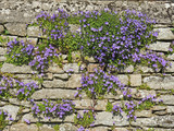 blühende Steinmauer - stone wall with bell flowers