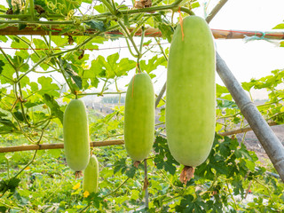 green wax gourd on field agricultural