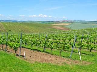 Large vineyard near Velke Bilovice, South Moravia.