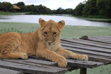 junger Löwe, liegend