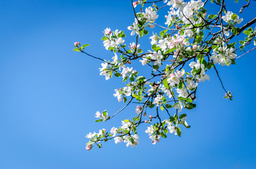 Blossoming apple-tree branches
