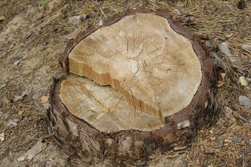 Пень дерева, сосна