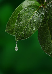 Fresh leaf with water drop falling. Natural background