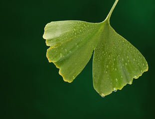 Fresh gincgo leaf on natural background