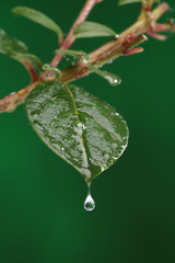 Green fresh leaf with a water drop falling. Natural background