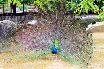 Indian peacock ( Pavo cristatus )