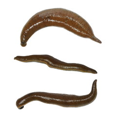 collection medical leech isolated on white background