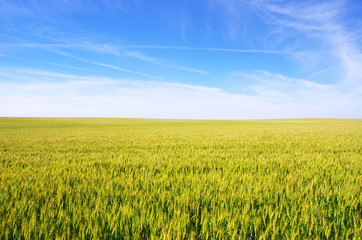 wheat field under a blue sky