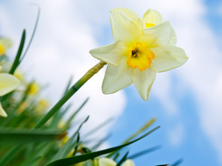Yellow daffodil flower in the field