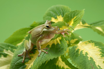 Tree frog (Litoria infrafrenata)