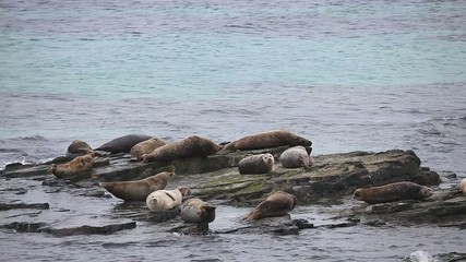Grey Seals resting on a rocky shore.