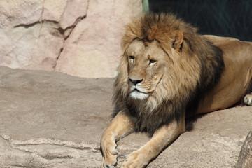 Löwe liegt auf Stein