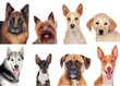 ������, ������: Photo collage of different breeds of dogs