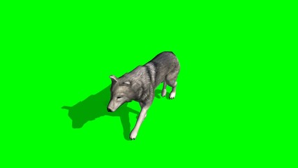 wolf walks - green screen